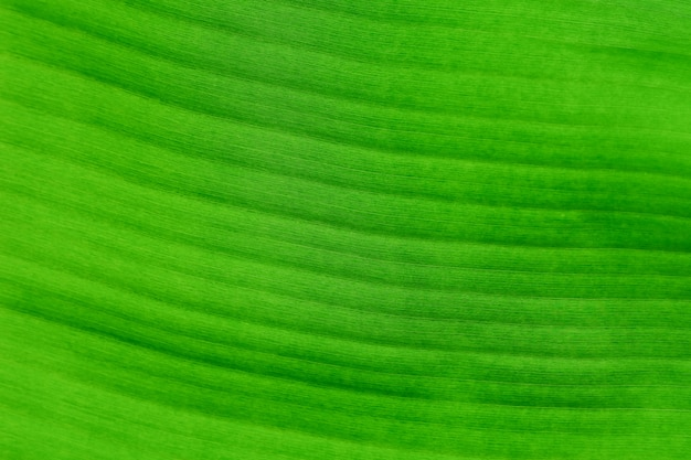 Fresh banana leaves on background.