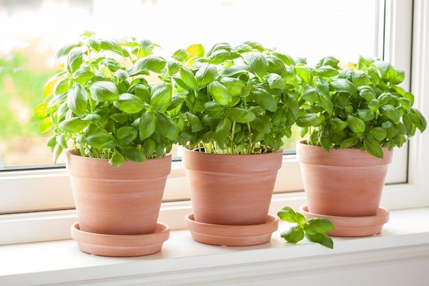 Fresh basil herb in a brown pot