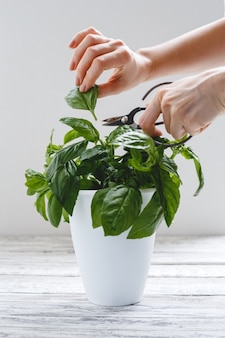 Fresh basil herb in flower pot, female hands on white table