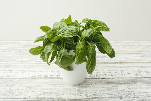 Fresh basil herb in flower pot on the white table