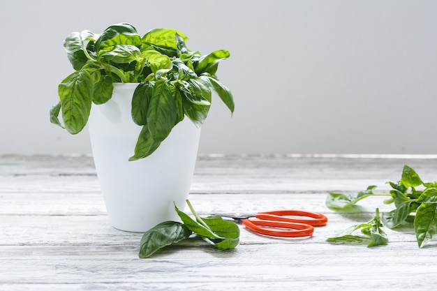 Fresh basil herb in flower pot with scissors on the white table on white background with copy space
