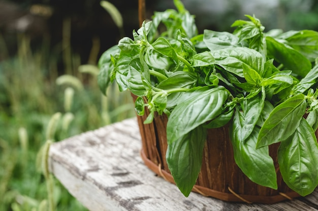Fresh basil herb growing in a rustic wooden crate outdoors in the garden for use in cooking or alternative medicine