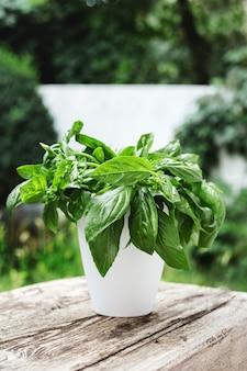 庭の植木鉢に新鮮なバジルハーブ。