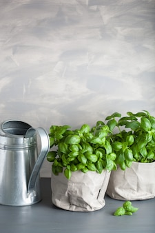 Fresh basil herb in a paper bag pot