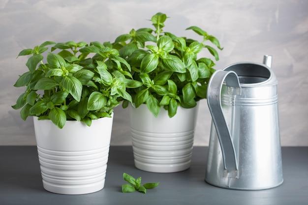 Fresh basil herb in a vintage pot