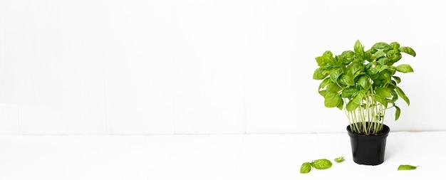 흰색 배경에 신선한 향미료입니다. 녹색 바질. 음식 배경. 긴 배너