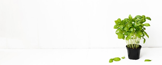 Fresh basil on a white background. green basil. food background. long banner