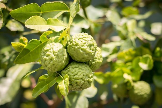 木からの新鮮なベルガモットは香りがよく、薬草として使用する利点があります