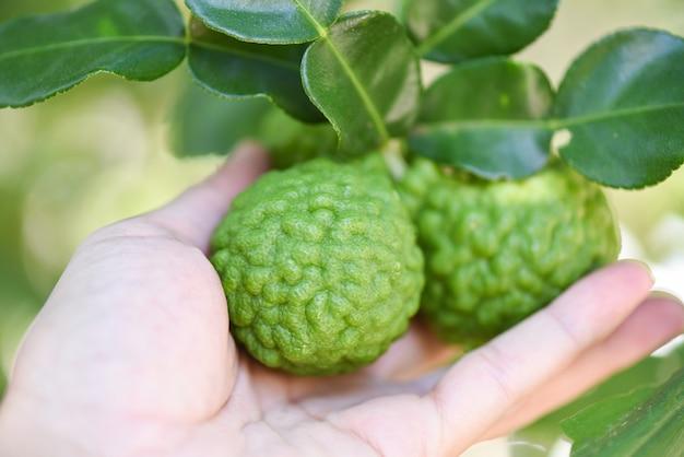Свежие плоды бергамота на фоне природы дерева, лайм кафр, цитрусовые бергамия с листьями на деревянном столе