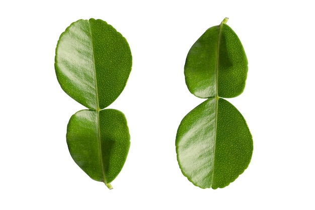 Fresh bergamot leaf  or kaffir lime isolate on white background with clipping path