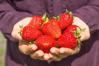 Fresh berries of strawberries in the hands of a girl.
