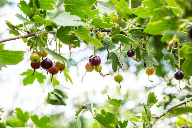 Fresh black currant and leaves on branch in light summer garden