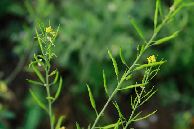 Fresh black mustered plant