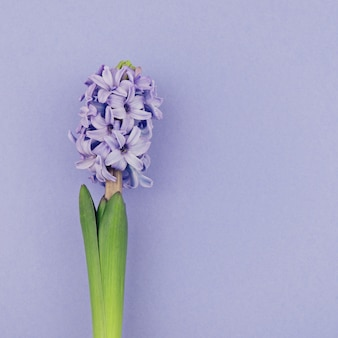 Fresh blooming blue hyacinth, square size