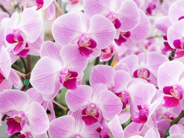 Fresh blooming of the phalaenopsis orchid.