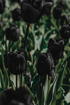 신선한 피는 보라색 튤립 필드