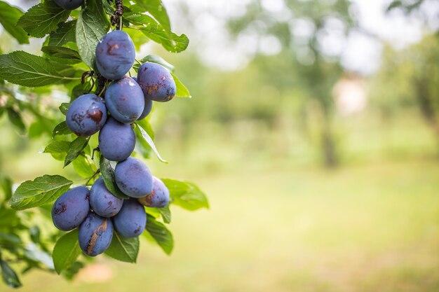 Свежие голубые сливы на ветке в саду. Premium Фотографии