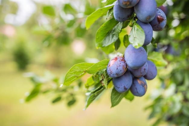 Свежие голубые сливы на ветке в саду.