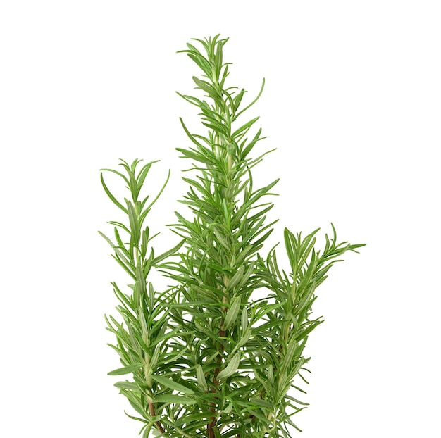 Fresh branches of rosemary with green leaves isolated on white background. spice for meat, fish