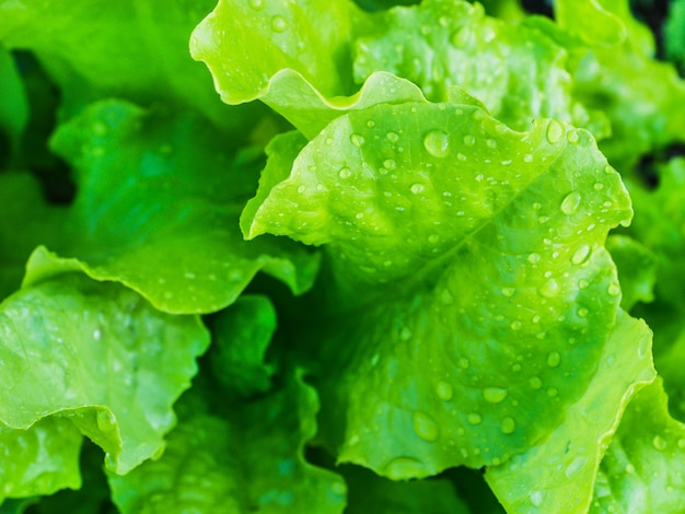 Fresh, bright, green leaves of a lettuce