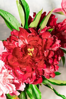 Свежий яркий пурпурный пион крупным планом как праздничные обои или фон. время цветения. день святого валентина, день матери, женский месяц, международный женский день. вид сверху. вертикальная ориентация.