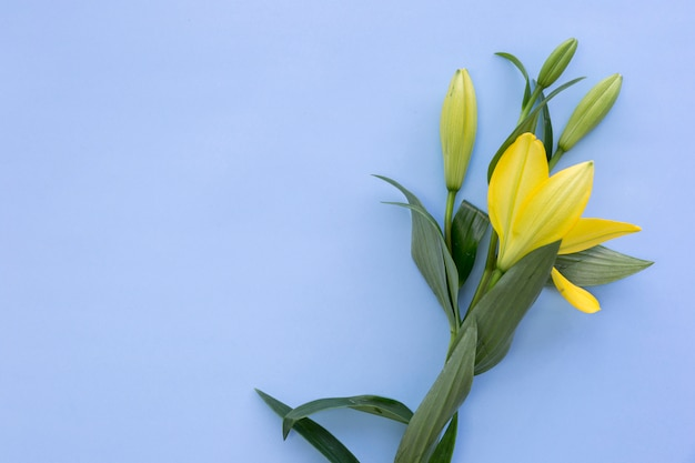 Fresh bright yellow lily flowers on blue background