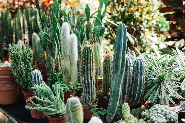 Fresh cactus plants growing in greenhouse