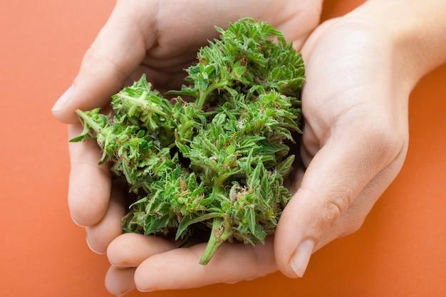 여성의 손에 신선한 대마초 꽃 봉 오리. 약용 마리화나.