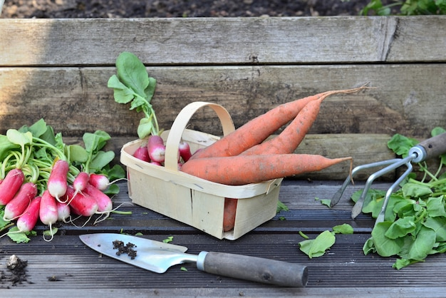 Fresh carrots and radishes in a little basket with leaf cut on a plank with shovel in garden