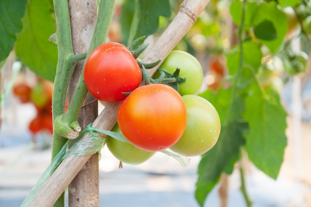 Fresh cherry tomatoes in the garden ,plant tomatoes (selective focus)