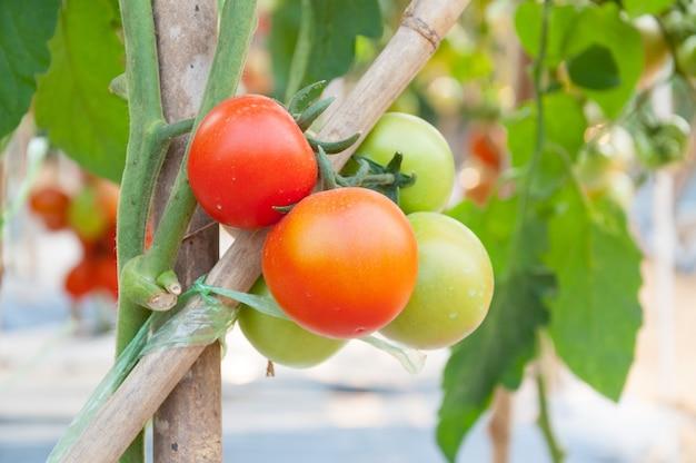 정원에서 신선한 체리 토마토, 식물 토마토 (선택적 초점)