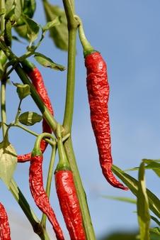 Fresh chili fruits on nature background.