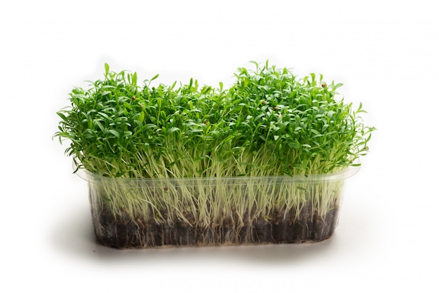 Fresh cilantro seedlings in plastic container isolated on white background.