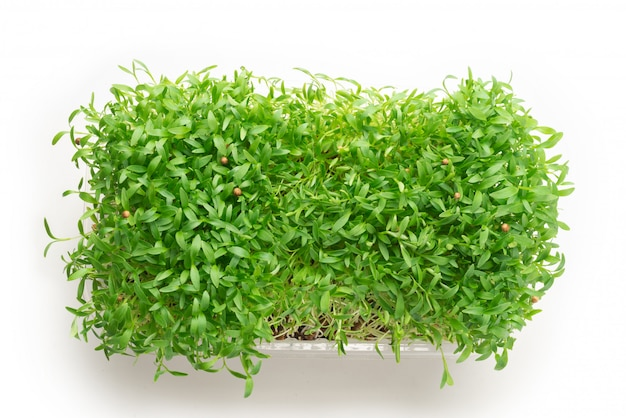 Fresh cilantro seedlings in plastic container isolated on white