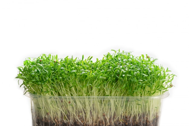 Fresh cilantro seedlings in plastic container isolated