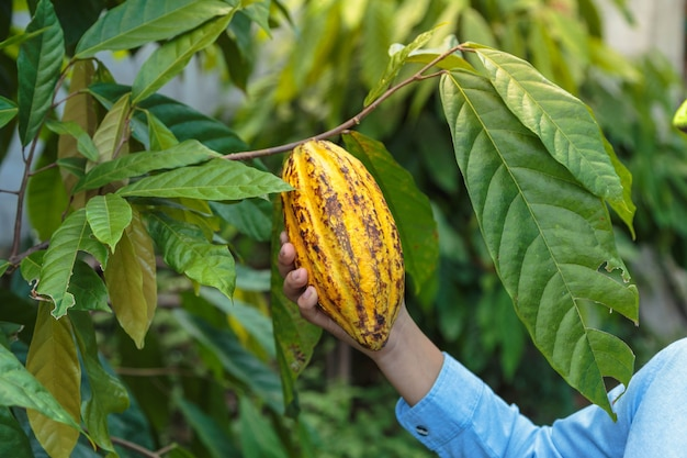 Fresh cocoa pods in the hands of farmers