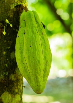 Fresh cocoa on the tree in the garden