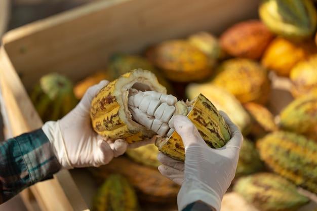 Свежее какао со стручками какао и разрезанными пополам фруктами какао. стручок какао разрезать так, чтобы внутри были видны какао-бобы. выборочный фокус.
