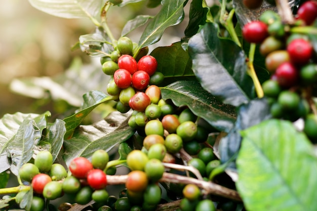 Fresh coffee beans on bunch trees.