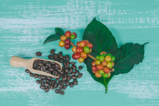 Fresh coffee beans and dry coffee beans on color wood  background