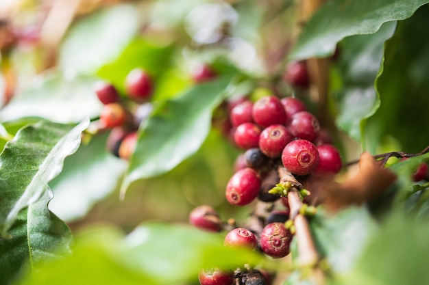 Fresh coffee beans on tree branches