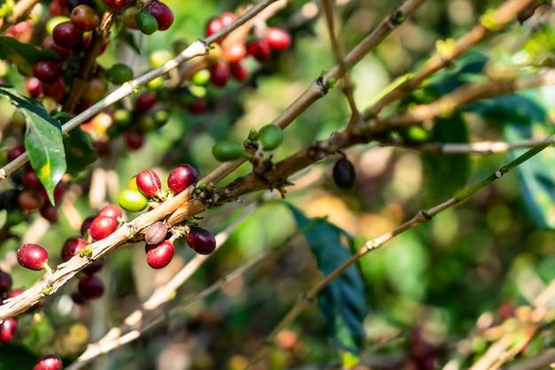 Свежие кофейные зерна