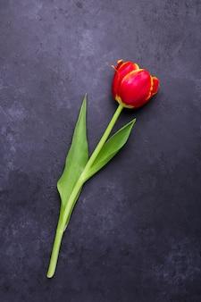 Fresh colorful tulip flower on dark stone background
