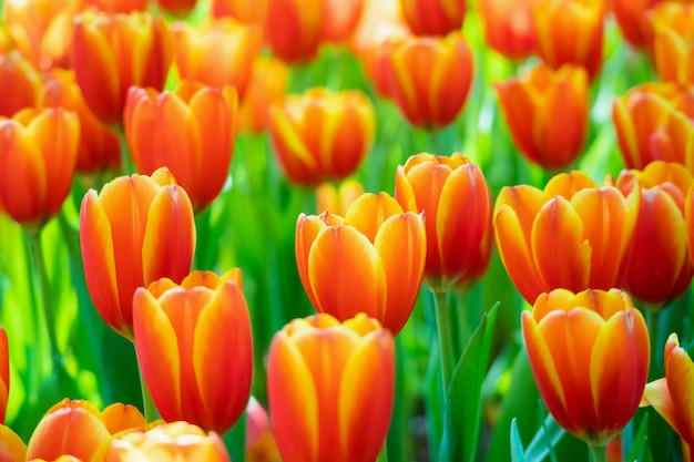 정원에서 신선한 화려한 튤립 꽃 꽃