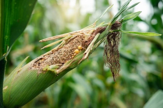 Свежая кукуруза для животных в поле