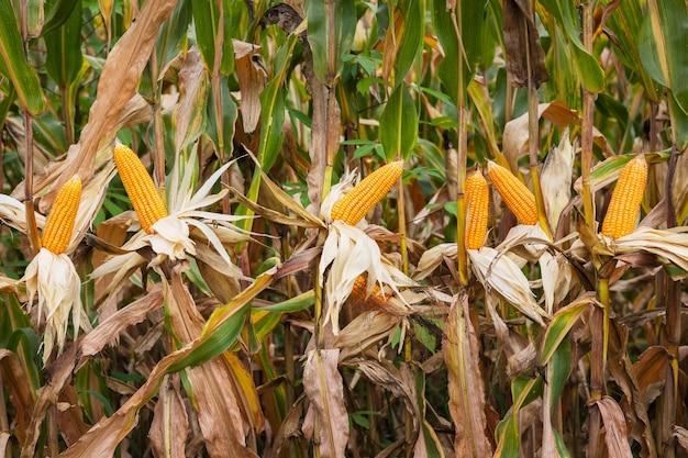 畑の茎に新鮮なトウモロコシ。農業の概念