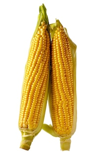 白い背景で隔離のトウモロコシの穂軸の耳に新鮮なトウモロコシ