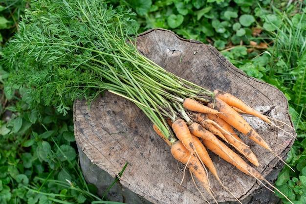 Свежий урожай моркови, пучок оранжевой органической моркови лежит на пне