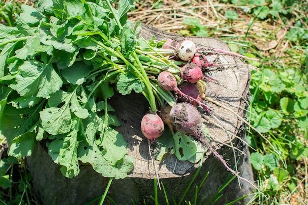 Свежий урожай редиса, пучок разноцветных органических редис лежит на пне
