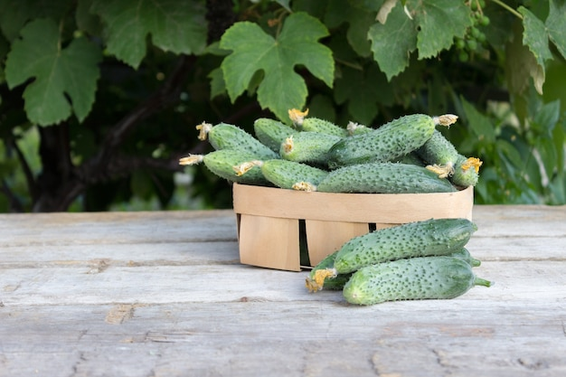 Fresh cucumbers in a basket on a wooden table. harvest ripe cucumber